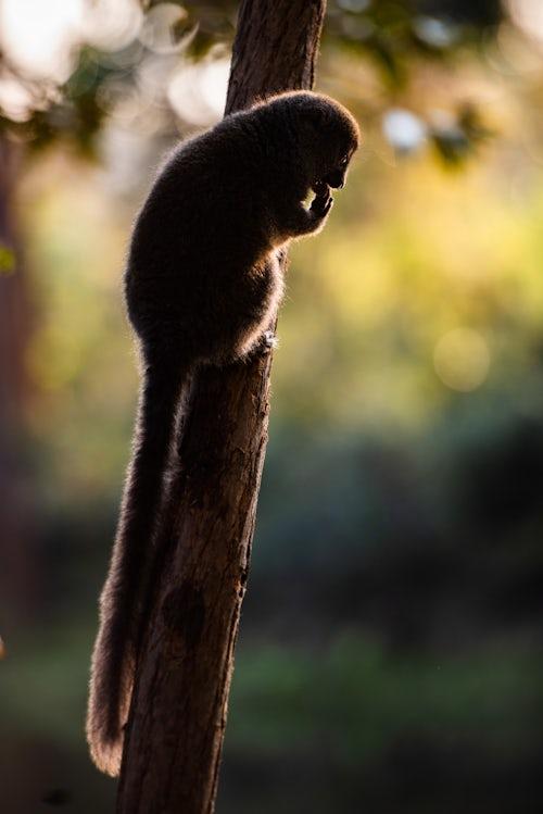 Wildlife Photography by Professional Freelance Wildlife Photographer UK Grey Bamboo Lemur Hapalemur Andasibe Madagascar