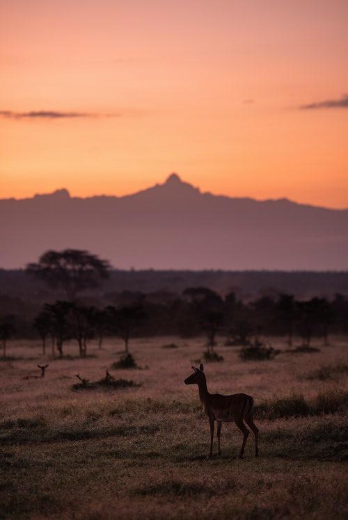 Wildlife Photography by Professional Freelance Wildlife Photographer UK Impala and Mount Kenya at sunrise at El Karama Ranch Laikipia County Kenya