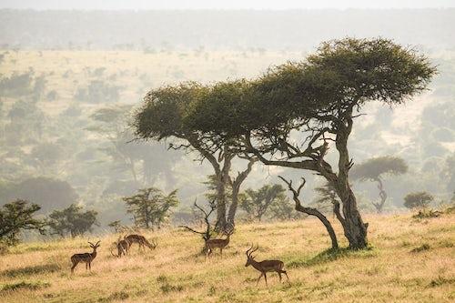 Wildlife Photography by Professional Freelance Wildlife Photographer UK Impala underneath Acacia Trees at sunrise at El Karama Ranch Laikipia County Kenya