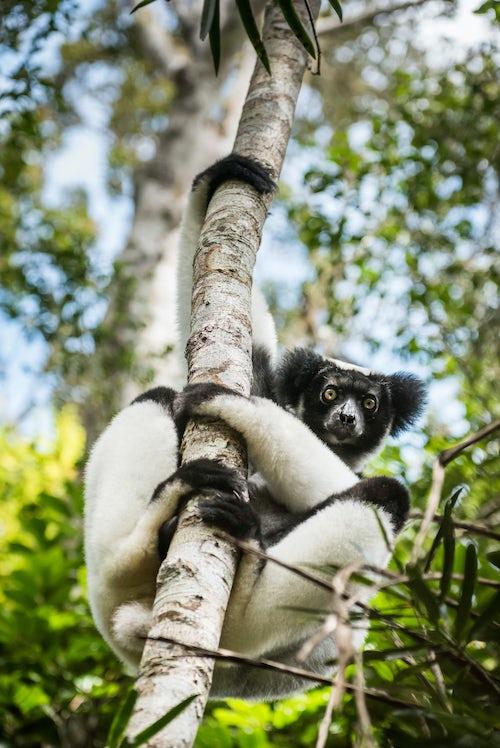 Wildlife Photography by Professional Freelance Wildlife Photographer UK Indri aka Babakoto Indri Indri a large lemur in Perinet Reserve Andasibe Mantadia National Park Eastern Madagascar