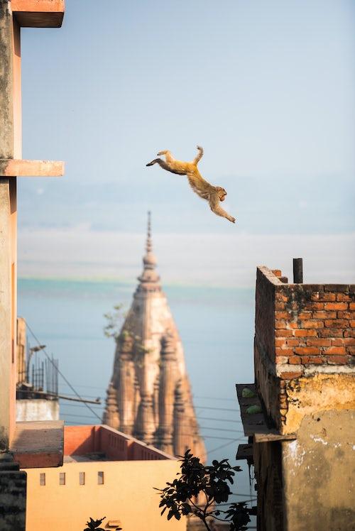 Wildlife Photography by Professional Freelance Wildlife Photographer UK Monkey Varanasi Uttar Pradesh India