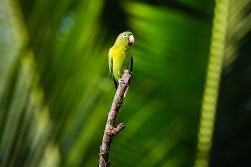 Wildlife Photography by Professional Freelance Wildlife Photographer UK Orange Chinned Parakeet Brotogeris Jugularis Boca Tapada Alajuela Province Costa Rica