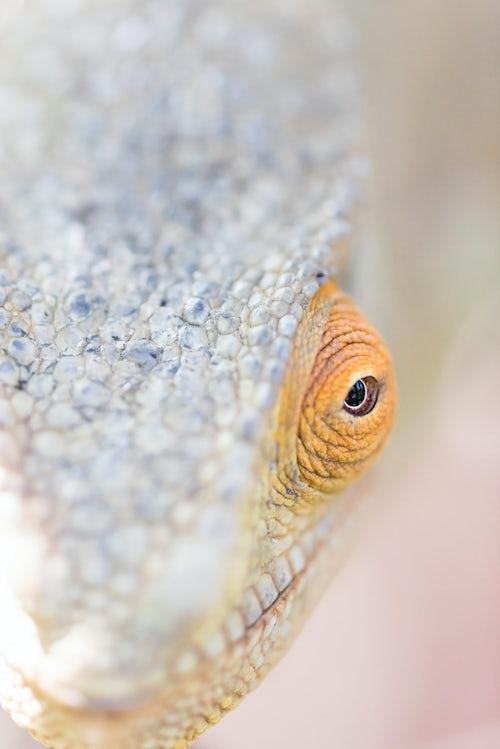 Wildlife Photography by Professional Freelance Wildlife Photographer UK Parsons chameleon Calumma parsonii endemic to Madagascar