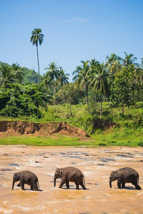 Wildlife Photography by Professional Freelance Wildlife Photographer UK Pinnawala Elephant Orphanage three elephants in the Maha Oya River near Kegalle in the Hill Country of Sri Lanka Asia
