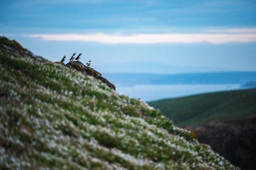 Wildlife Photography by Professional Freelance Wildlife Photographer UK Puffins on Skomer Island Pembrokeshire Coast National Park Wales United Kingdom 2