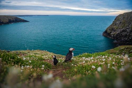 Wildlife Photography by Professional Freelance Wildlife Photographer UK Puffins on Skomer Island Pembrokeshire Coast National Park Wales United Kingdom