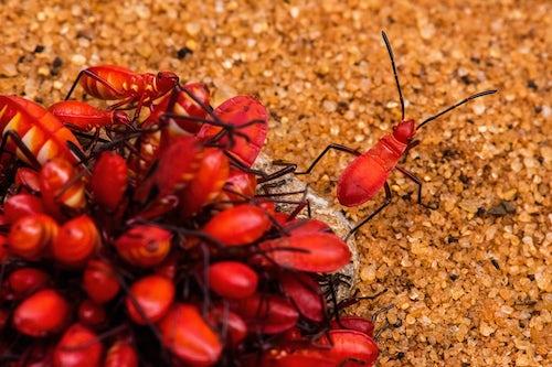 Wildlife Photography by Professional Freelance Wildlife Photographer UK Red Cotton Stainer Bug Dysdercus cingulatus in Spiny Forest Reserve Ifaty Madagascar