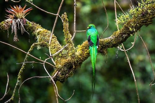 Wildlife Photography by Professional Freelance Wildlife Photographer UK Resplendent Quetzal Pharomachrus mocinno San Gerardo de Dota San Jose Province Costa Rica