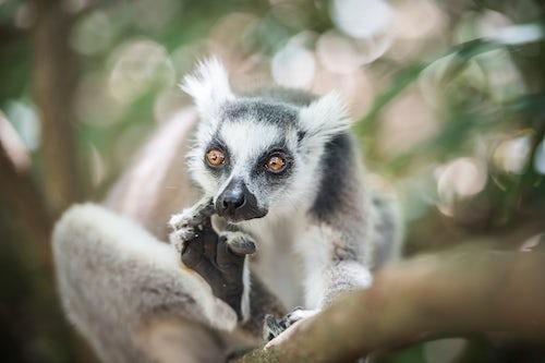 Wildlife Photography by Professional Freelance Wildlife Photographer UK Ring tailed Lemur Lemur catta Isalo National Park Ihorombe Region Southwest Madagascar