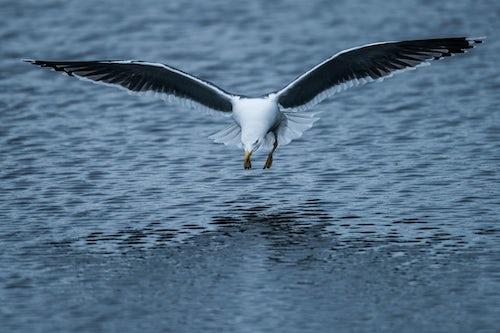 Wildlife Photography by Professional Freelance Wildlife Photographer UK Seagull on Skomer Island Pembrokeshire Coast National Park Wales United Kingdom