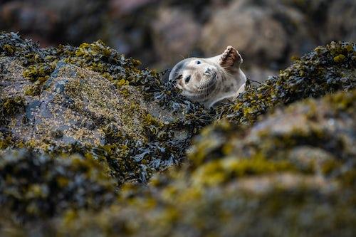Wildlife Photography by Professional Freelance Wildlife Photographer UK Seal on Skomer Island Pembrokeshire Coast National Park Wales United Kingdom