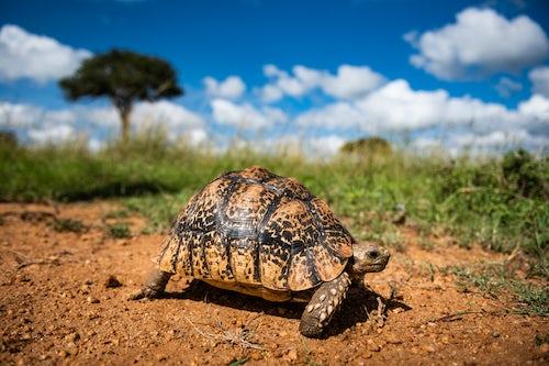 Wildlife Photography by Professional Freelance Wildlife Photographer UK Tortoise Stigmochelys on african wildlife safari holiday vacation in Kenya Africa