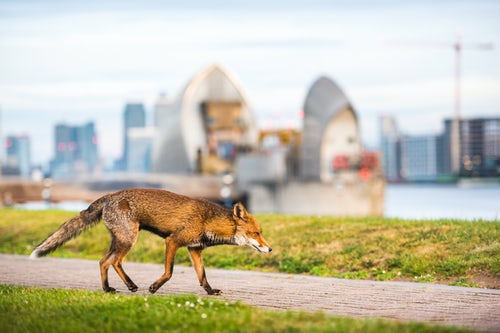 Wildlife Photography by Professional Freelance Wildlife Photographer UK Urban wildlife in London a Red Fox Vulpes vulpes with the Thames Barrier behind Greenwich London England