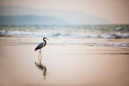 Wildlife Photography by Professional Freelance Wildlife Photographer UK Western Reef Heron Egretta Gularis at sunset Talpona Beach South Goa India