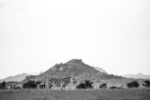 Wildlife Photography by Professional Freelance Wildlife Photographer UK Zebra Equus quagga at El Karama Ranch Laikipia County Kenya